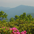 Rhododendron in the NC Mountains - Stock Photo