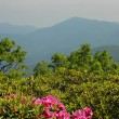 Rhododendron in the NC Mountains — Stock Photo #2108297