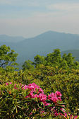 Rhododendron in the NC Mountains — Stock Photo