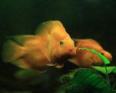 Purple Parrot Fish — Stock Photo