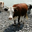 Brown cow — Stock Photo #2030413