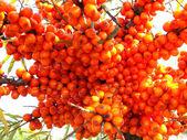 Owoce rokitnika — Zdjęcie stockowe
