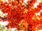 Sea-buckthorn berries — 图库照片