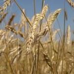 Grains — Stock Photo