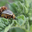 Stock Photo: Colorado potato beetle