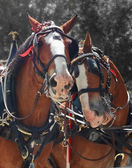 Horses couple — Stock Photo