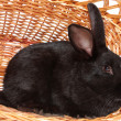 Black rabbit in a basket. — Stock Photo