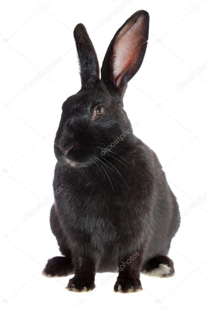 黑兔子 — 图库照片08cs-333#2246962