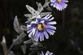 Lilac flower in hoarfrost. — Stock Photo