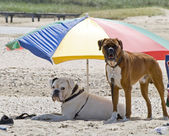 Dogs on a holiday — Stock Photo
