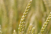 Closeup shot of a wheat ear in the summer. — Stock Photo