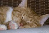 żółty kot mora — Zdjęcie stockowe