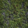 Green Moss on Old Concrete Wall - 