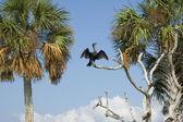 Kormoran trocknet seine flügel — Stockfoto