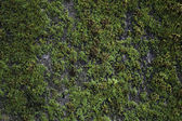 Green Moss on Old Concrete Wall — Stock Photo