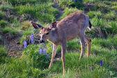 山の鹿とルピナス — ストック写真