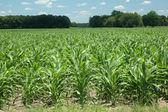 Corn_rows — Stock Photo