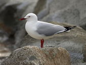 Sea gull — Photo