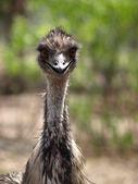 Emu stare — Stock Photo