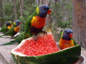 Rainbow lorikeet — Stock Photo