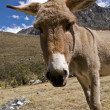 Curious Donkey - Stock Photo