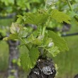 Budding Vine — Stock Photo