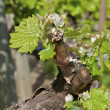 Stock Photo: Budding Vine