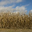 Corn Field — Stock Photo #2109115