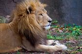 African Male Lion — Stock Photo