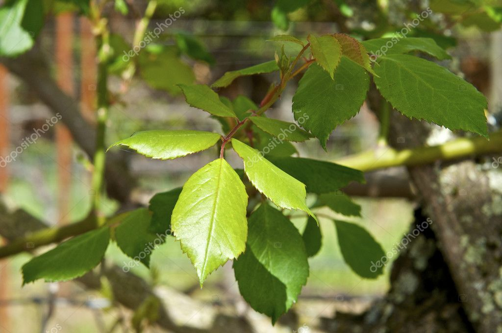 Green Leaves during the Spring  Stock Photo #2121701