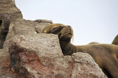 Sleeping Sea Lion — Stock Photo