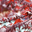 Red Leaves — Stock Photo