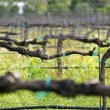 Vineyard — Stockfoto #2207788
