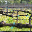 Foto Stock: Vineyard