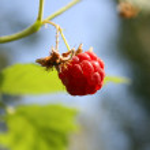 Raspberry on bush — Stock Photo #2092769