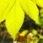 Autumn leafs — Stock Photo #2092794