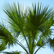 Leafs of palm against blue sky — Stock Photo
