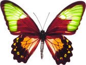 Papillon isolé — Photo
