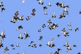 Flying flock birds — Stock Photo