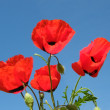 Red poppy on blue sky — Stock Photo