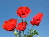 Red poppy on blue sky — Stock Photo
