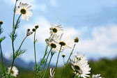 Meadow of flower chamomile — Stockfoto