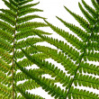 Fern leaf  close-ap - Stock Photo