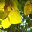 Yellow  leafs in autumn - Stock Photo