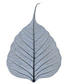 Transparent leaf vein close-up — Stock Photo