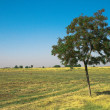 Green tree  in field - Stock Photo