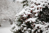 White snow covered the berries tree — Stock Photo