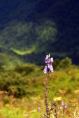 Wild orchids in nature of himalayas — Stock Photo