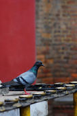 Pigeons and the candlestick — Stock Photo