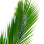 Green palm leaf — Stock Photo
